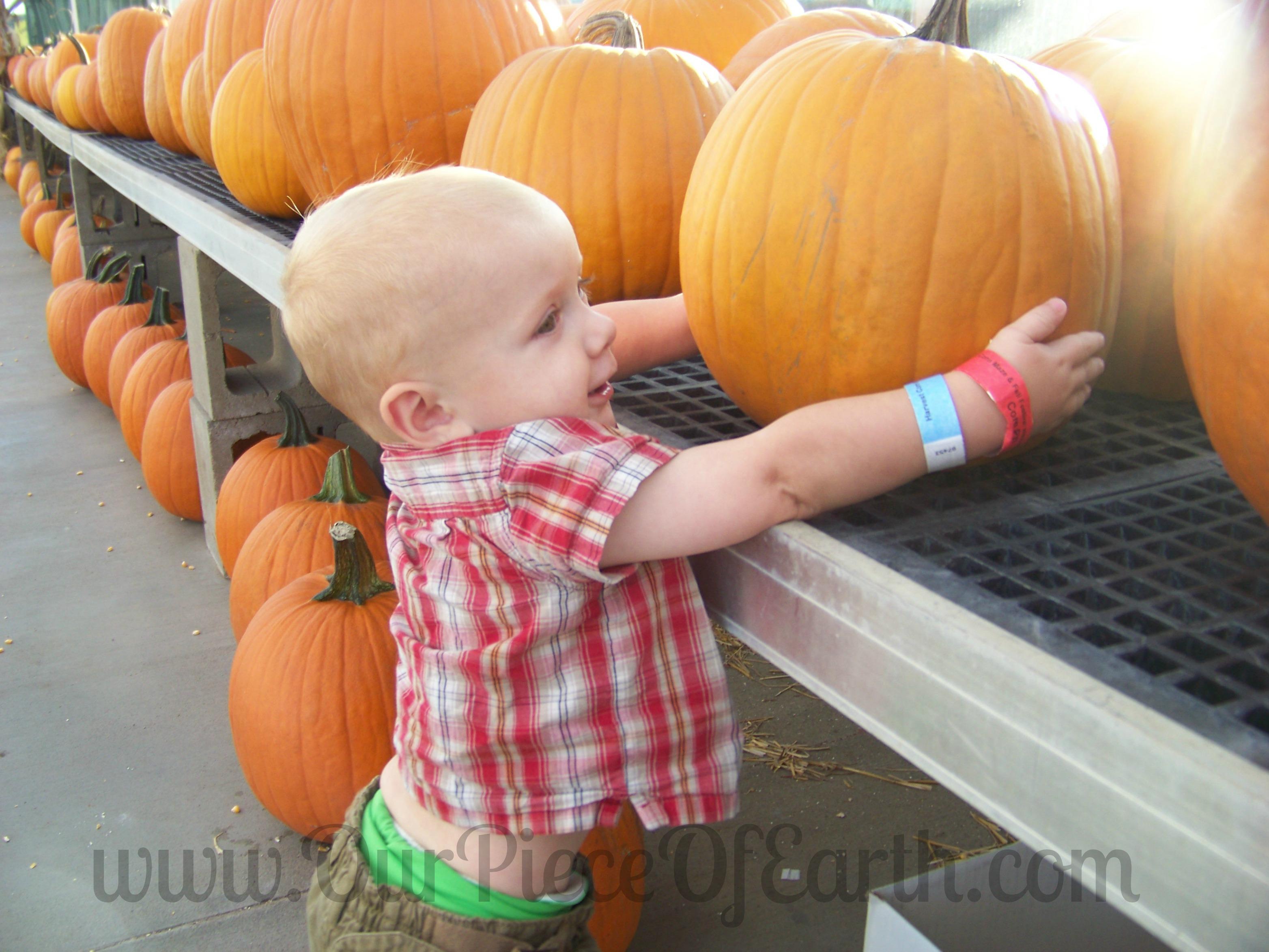 Charlie carrying pumpkin